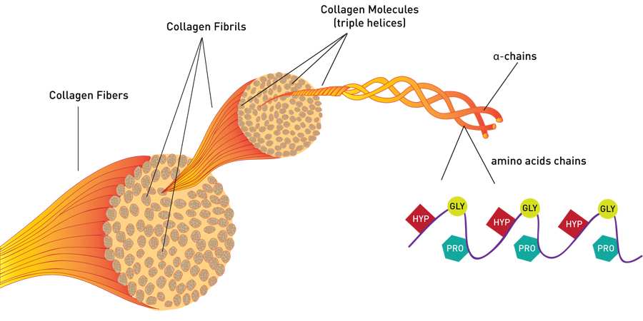 collagen diagram